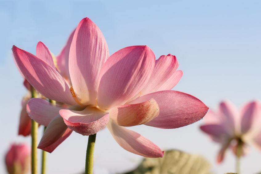 Kaml Kesar Lotus